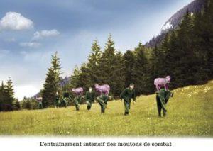 Moutons de combat